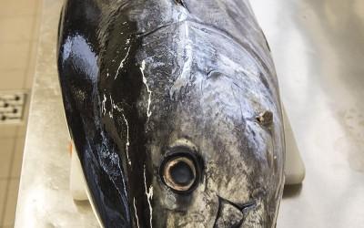 Le thon sauvage de Méditerranée